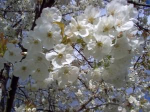 Blog-note : 15 avril, reprise dans Dire 57-069-cerisiers--300x225
